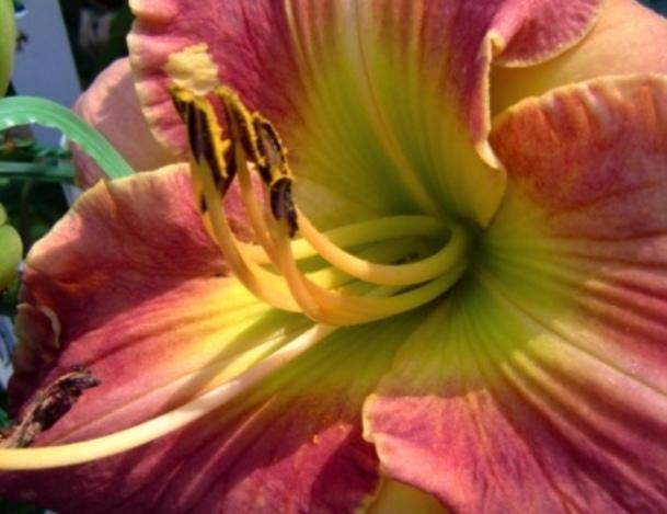 Photo of Daylily (Hemerocallis 'Momentum') uploaded by Sscape