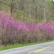 Location: Near Great Cacapon, Morgan Co., West VirginiaDate: 2014-05-08Typical roadside occurrence in this area