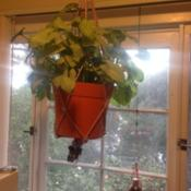 Location: Pasadena, CA Date: 2016-03-11hanging arrowhead houseplant in kitchen