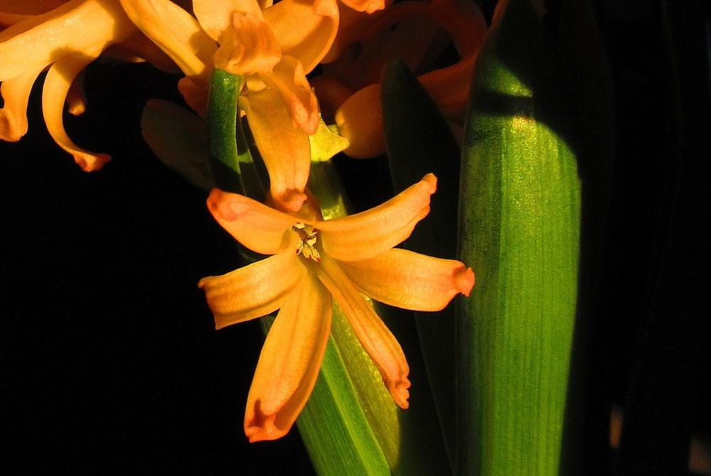 Photo of Hyacinth (Hyacinthus orientalis 'Gipsy Queen') uploaded by jmorth