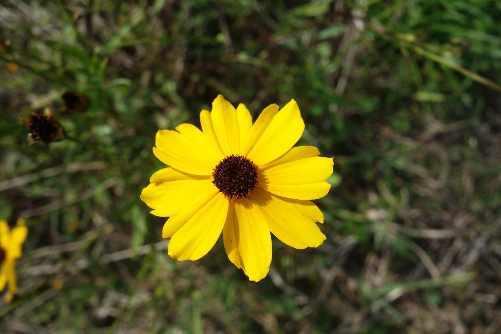 Photo of Tickseeds (Coreopsis) uploaded by mellielong