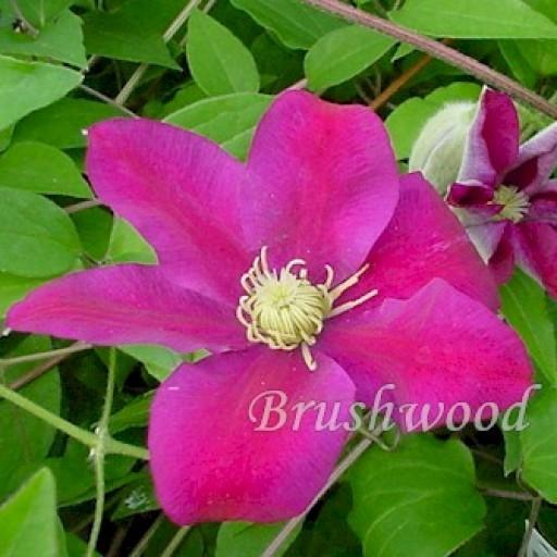 Photo of Clematis 'Sunset' uploaded by Calif_Sue