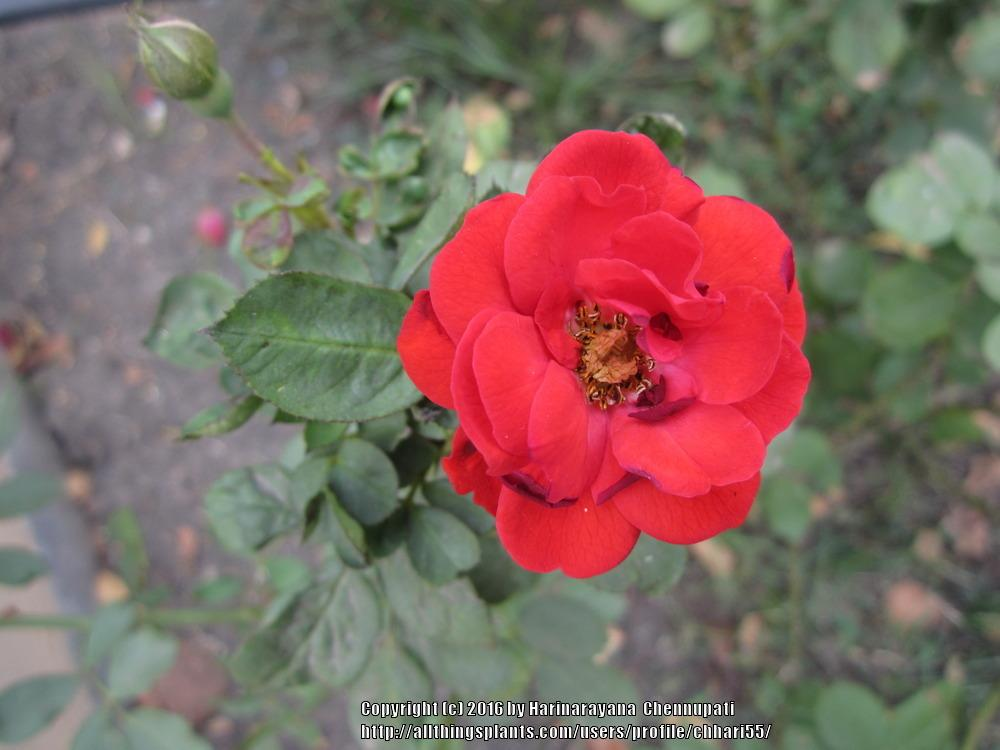 Photo of Roses (Rosa) uploaded by chhari55