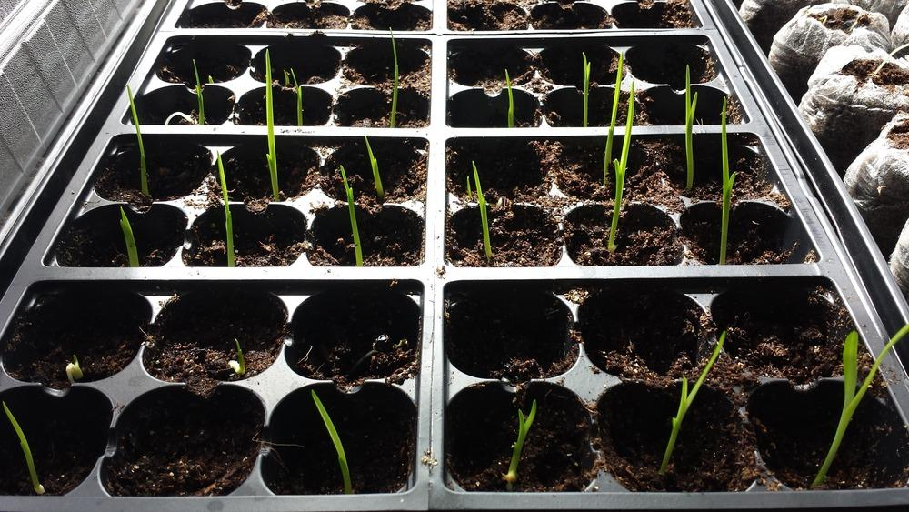 Daylilies Forum How Are Your Seedlings Doing Garden Org