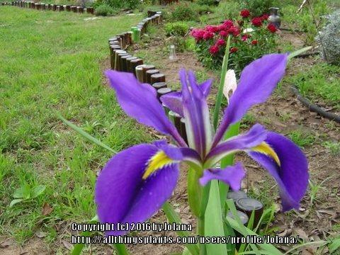Photo of Dutch Iris (Iris x hollandica 'Blue Magic') uploaded by froggardener