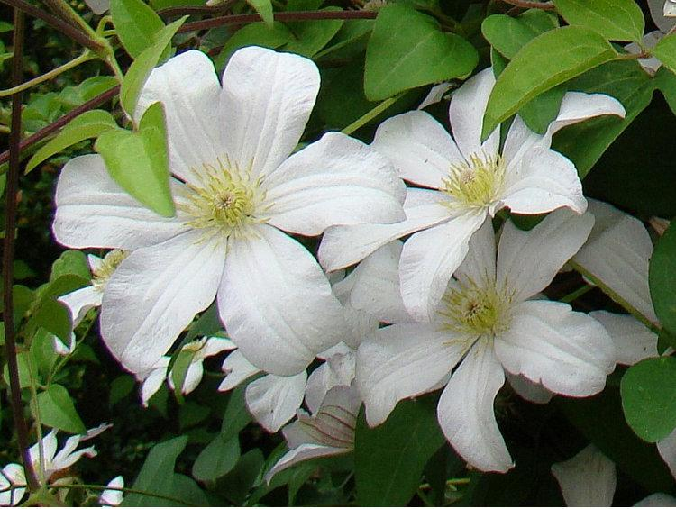 Photo of Clematis (Clematis viticella 'Huldine') uploaded by Calif_Sue