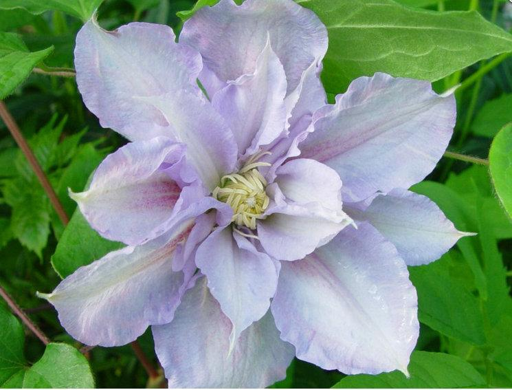 Photo of Clematis 'Scartho Gem' uploaded by Calif_Sue