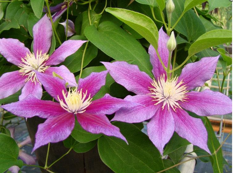 Photo of Clematis 'Red Pearl' uploaded by Calif_Sue