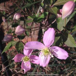 Clematis clematis montana fragrant spring in the clematis image mightylinksfo