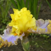 Location: Wildwood Gardens, Molalla, OR.Date: 2015-05-21AIS National Convention, Portland, OR -- Iris in Wonderland 2015