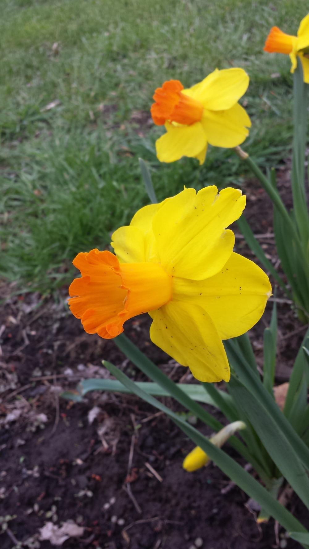 Image result for narcissus classic garden