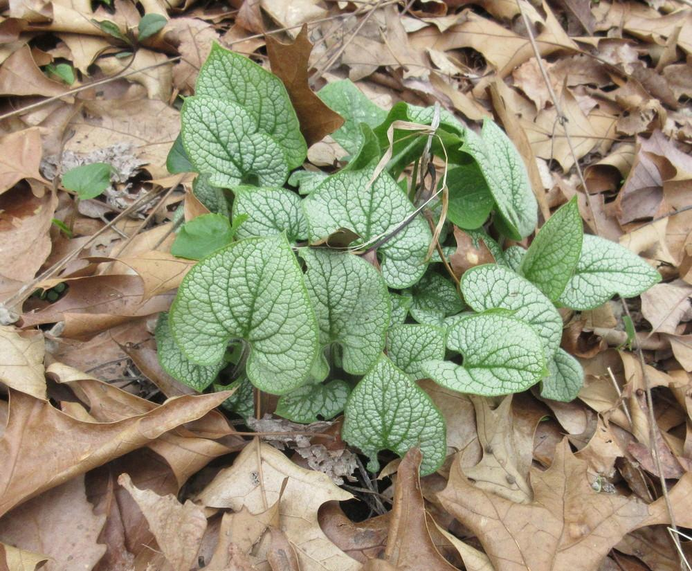 Photo of Brunnera (Brunnera macrophylla 'Jack Frost') uploaded by greenthumb99