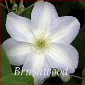 Photo courtesy of Brushwood Nursery