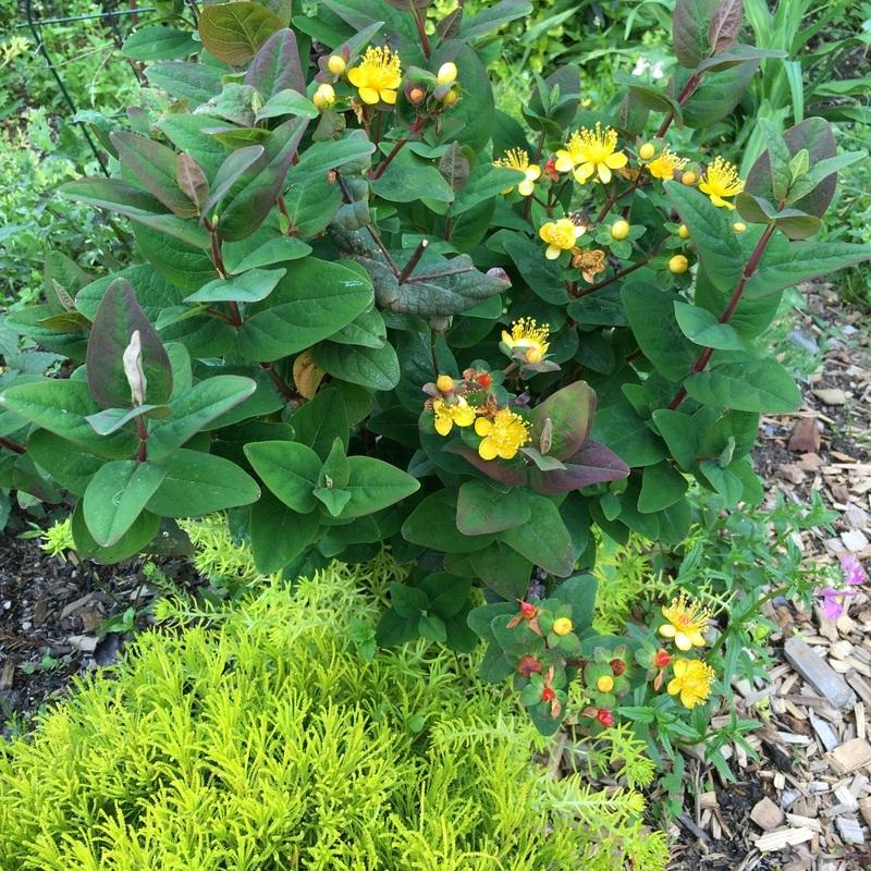 Photo of St. John's Wort (Hypericum Hypearls™ Madelon) uploaded by Calif_Sue