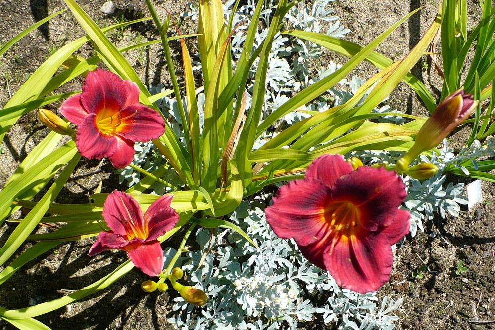 Photo of Daylily (Hemerocallis 'Siloam Show Girl') uploaded by HemNorth
