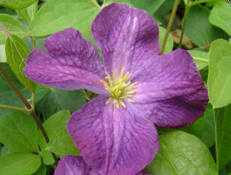 Photo of Clematis (Clematis viticella 'Little Butterfly') uploaded by Calif_Sue