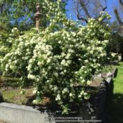 "Location: Historic Rose Garden, Historic City Cemetery, Sacramento CA.Date: 2016-03-29The tag read as follows; Hybrid Banksiae ""Vina Banksia"""