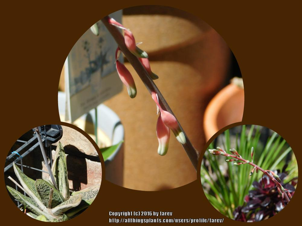 Photo of Gasteria 'Little Warty' uploaded by tarev