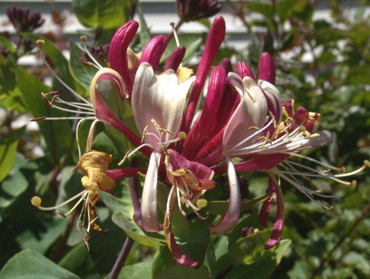 Photo of Honeysuckle (Lonicera periclymenum 'Winchester') uploaded by Calif_Sue