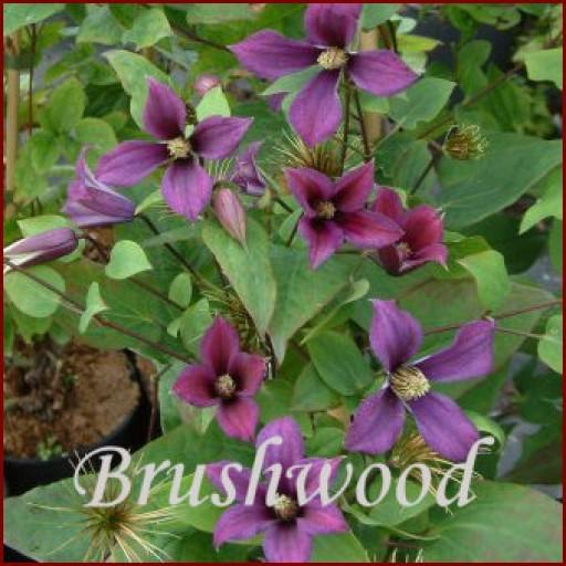 Photo of Clematis (Clematis integrifolia 'Lord Herschell') uploaded by Calif_Sue