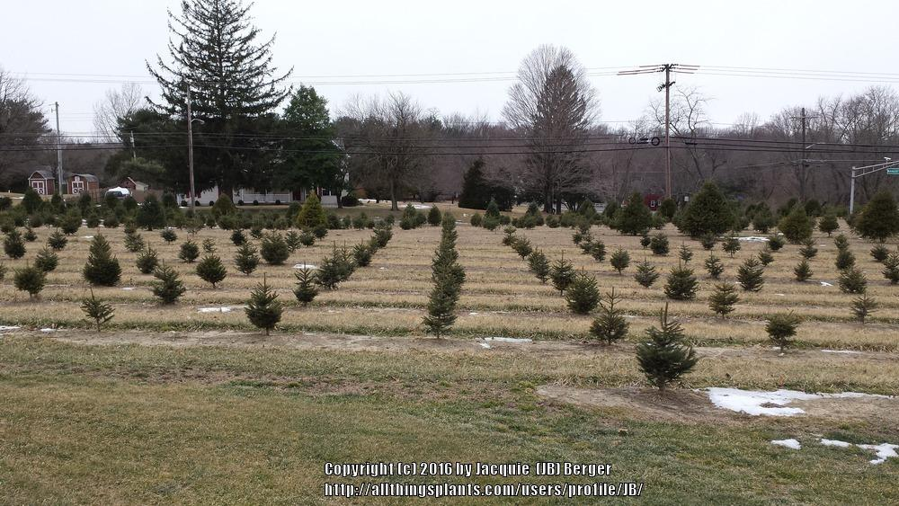 thumb of 2016 03 31jbeec2e5 - Christmas Tree Farming