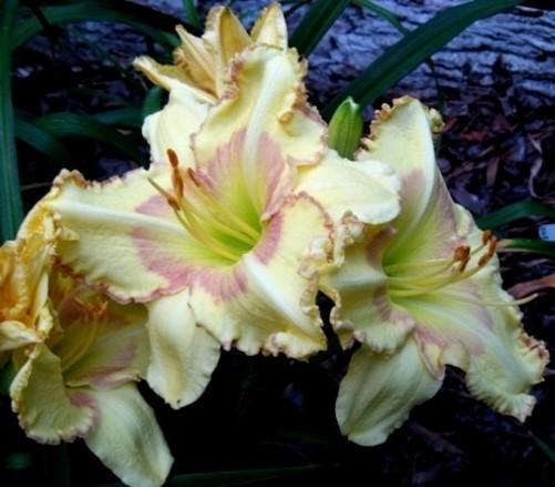 Photo of Daylily (Hemerocallis 'On the Fringe') uploaded by Sscape