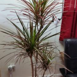 houseplants forum help watering dracaena marginata rainbow. Black Bedroom Furniture Sets. Home Design Ideas