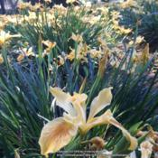 Location: Native Plants Demonstration Garden, Historic City Cemetery, Sacramento CA.Date: 2016-03-31Zone 9b. Pacific Coast Iris 'Yellow'