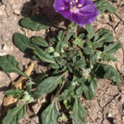 Location: South Llano River State Park, TXDate: March 26, 2016Purple groundcherry (Quincula lobata) in bloom along the Fawn Tra