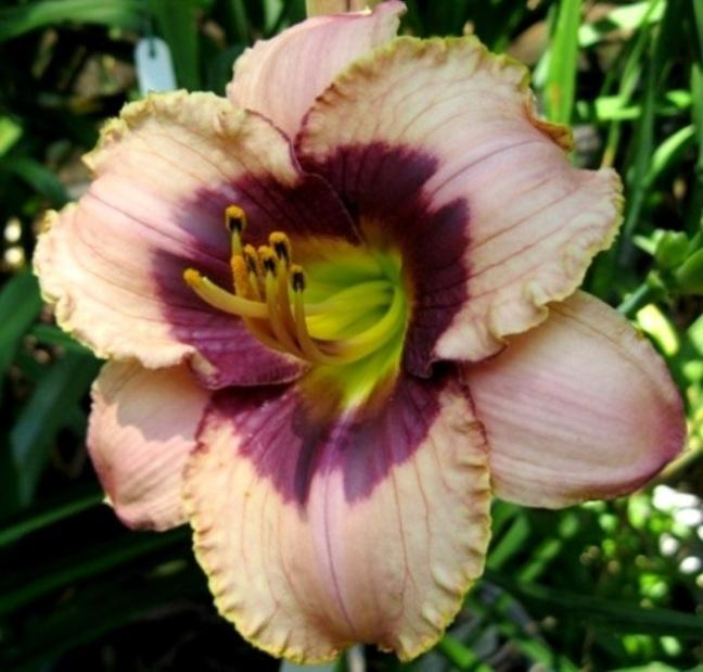 Photo of Daylily (Hemerocallis 'Orchid Candy') uploaded by Sscape