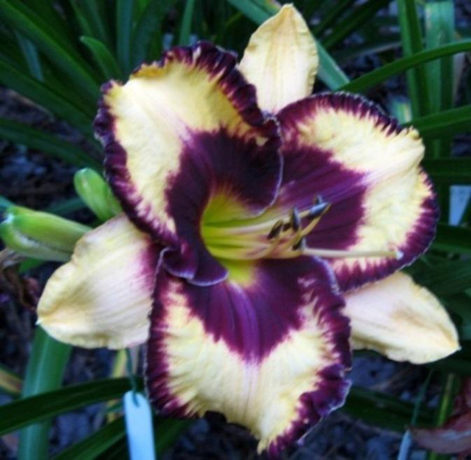 Photo of Daylily (Hemerocallis 'Open My Eyes') uploaded by Sscape