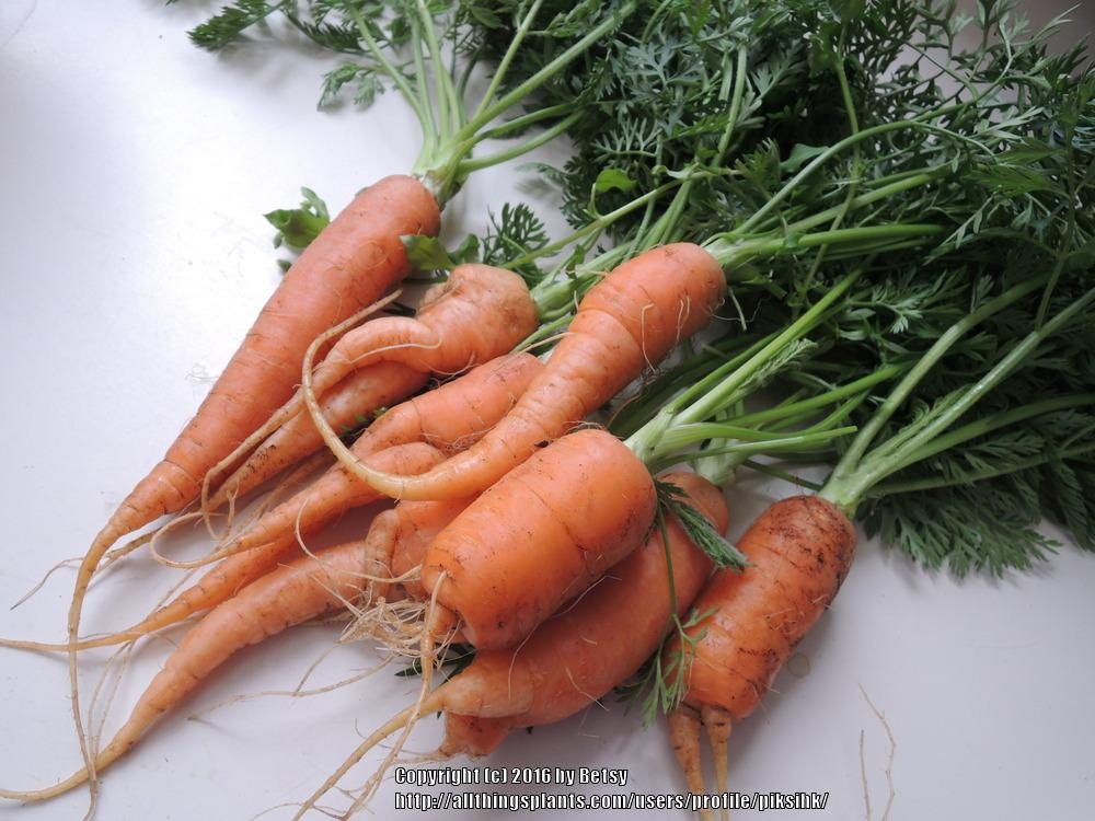 Photo of Carrots (Daucus carota subsp. sativus) uploaded by piksihk