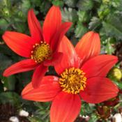 Location: Morganville Flower Farm, NJDate: 2016-04-02Bidens Campfire Fireburst, early Spring colors