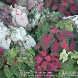 Thumb of 2016-04-03/caladiums4less/303068