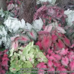 Thumb of 2016-04-03/caladiums4less/751ffc