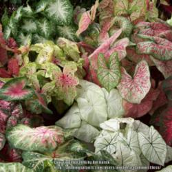 Thumb of 2016-04-03/caladiums4less/cb4e34
