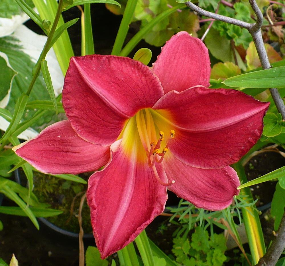 Photo of Daylily (Hemerocallis 'Charles Johnston') uploaded by HemNorth