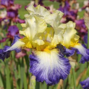 """Photo courtesy of Cayeux Iris. Used with permission."""