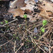 Location: Lucketts, Loudoun County, VirginiaDate: 2016-04-02Emerging spring growth