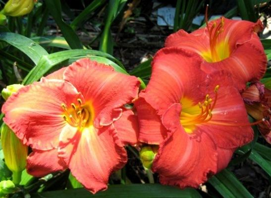 Photo of Daylily (Hemerocallis 'Panama Scarlet') uploaded by Sscape