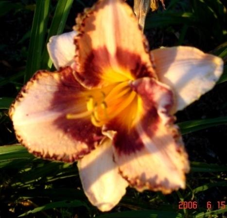 Photo of Daylily (Hemerocallis 'Parisian Adventure') uploaded by Sscape