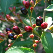 Location: Winter Springs, FL zone 9bDate: 2011-09-27Berries in fall and winter add beautiful color to this