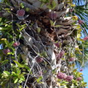 Location: Winter Springs, FL zone 9bDate: 2013-07-05Plant growing in a palm tree on Sanibel Island, FL