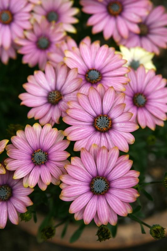 Photo of African Daisy (Osteospermum 'Summertime Sweet Sunrise') uploaded by Calif_Sue