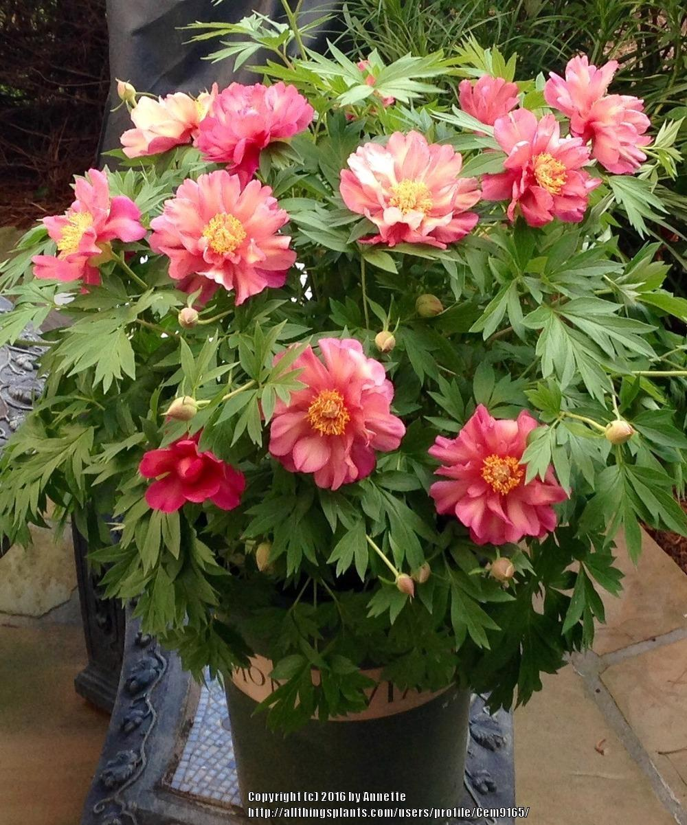 Peonies Forum 2016 Itohs Intersectionals Garden Org