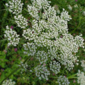 Location: Florissant, MODate: July 2009Queen Anne's Lace