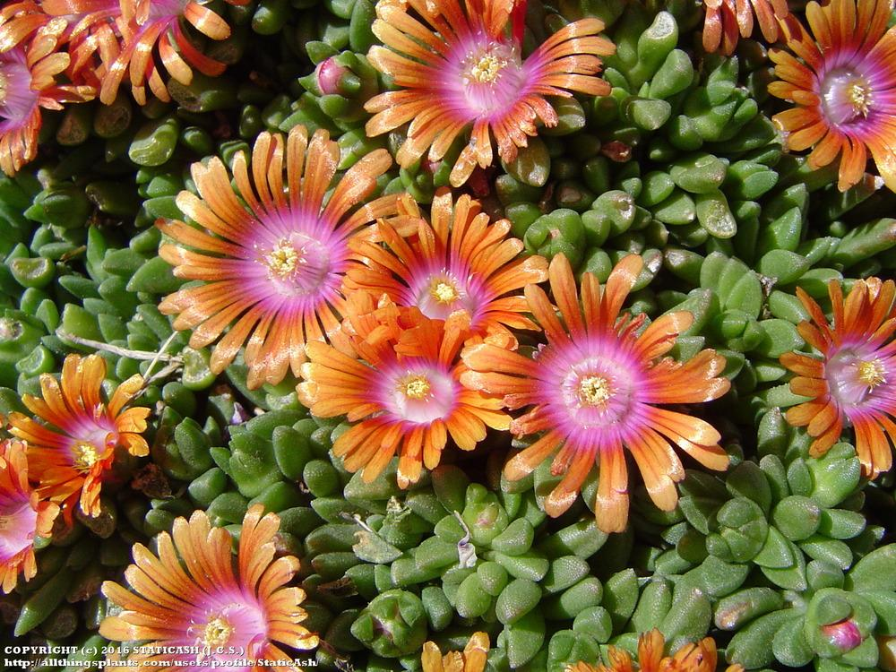 Photo of Ice Plant (Delosperma Fire Spinner™) uploaded by StaticAsh