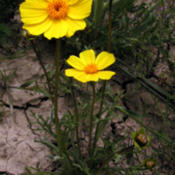 Location: Soda Lake, Carrizo Plain, CADate: 2006-04-16Leaf-stem tickseed (Coreopsis calliopsidea) at Soda Lake in the C