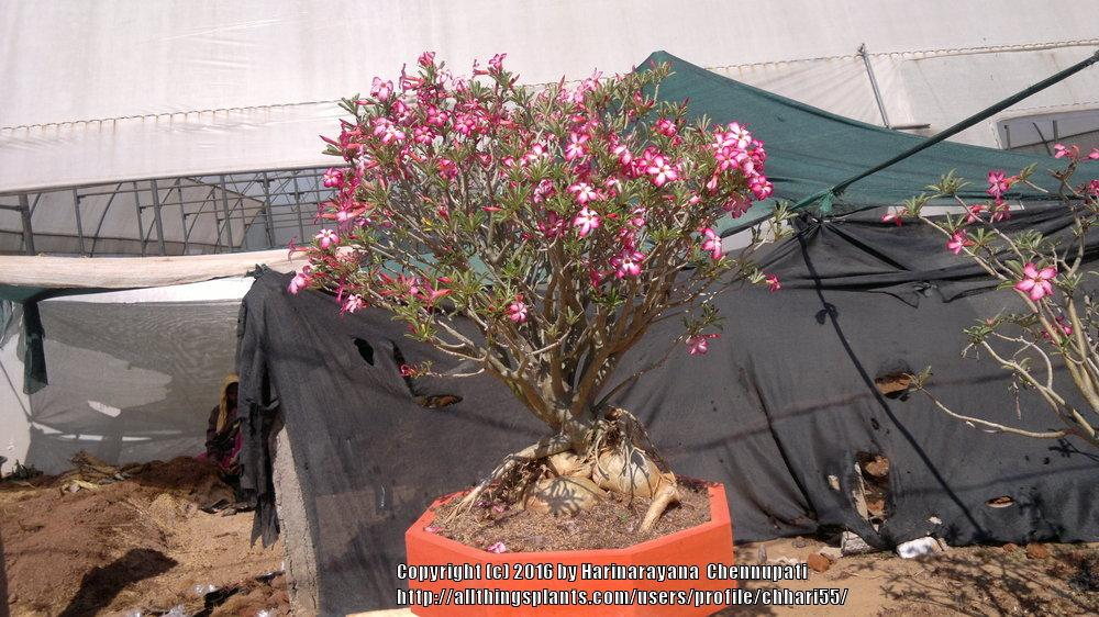 Photo of Desert Rose (Adenium obesum) uploaded by chhari55