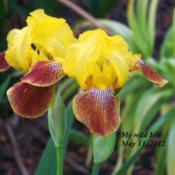 Location: Front yard, Coraopolis, PADate: 2012-05-11My wild growing Iris